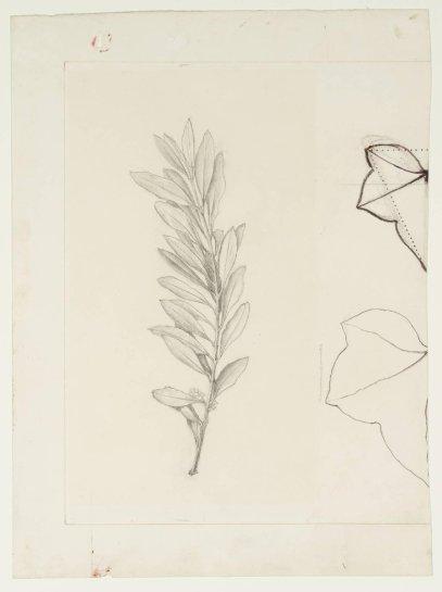 John Ruskin. Una rama de olivo y dos contornos Foto (c) Tate, Creative Commons CC-BY-NC-ND (3.0 Sin puerto) de hojas, antes de 1877